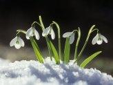 imbolc-snowdrops